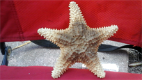 "Raw sundried 6.5"" starfish"